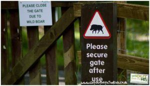Wild Boar in the Forest of Dean at Bracelands